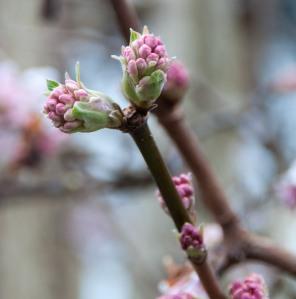 Viburnum buds 2