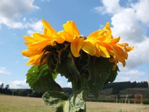 Sunflower August 2014