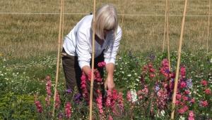Harvesting larkspur